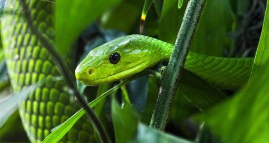 Восточная зеленая Мамба