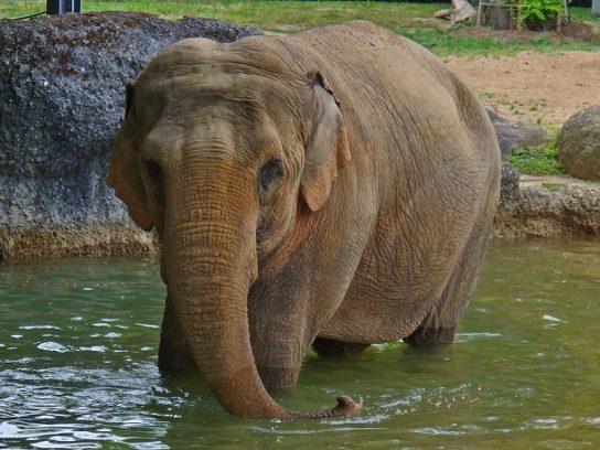 Индийский слон Elephas maximus