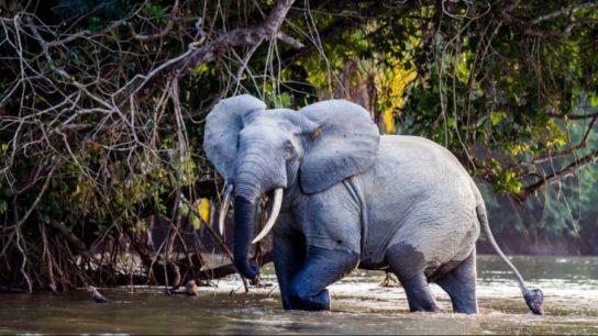 Лесной слон Loxodonta cyclotis