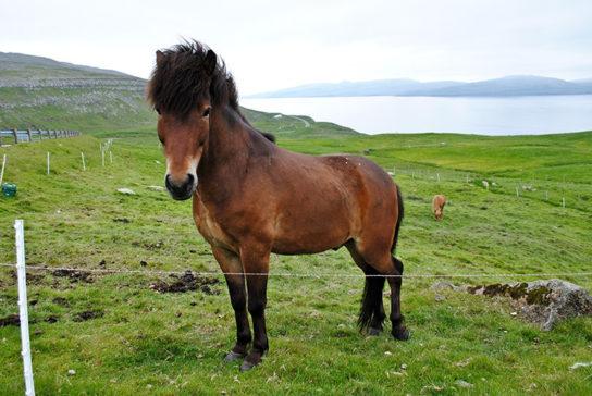 Фарерский конь