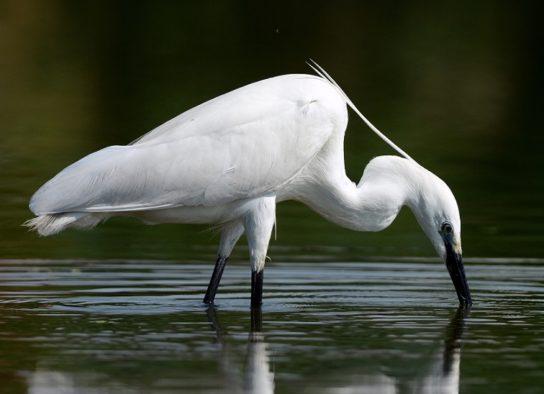 чем питается малая белая птица