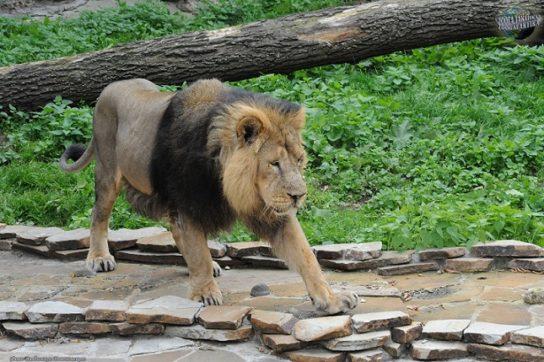 фото азиатского льва