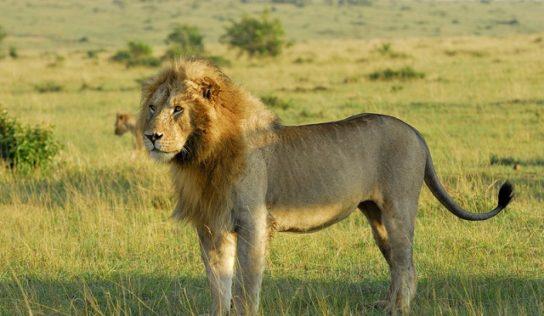 фото сенегальского льва