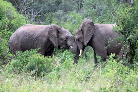 Саванный слон Loxodonta africana