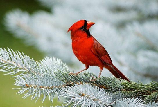severniy-kardinal-544x369.jpg