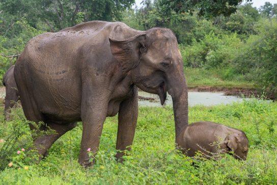 Шриланкийский слон (Elephas maximus maximus)