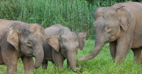 Слон острова Борнеа - Elephas maximus borneensis