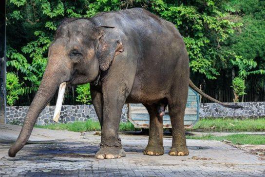 Суматранский слон Elephas maximus sumatranus