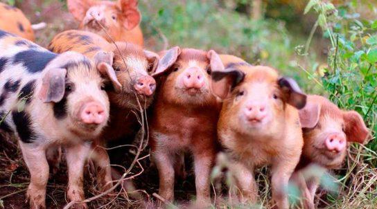 породы и вины свиней