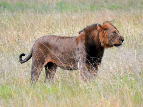 Восточноафриканский лев
