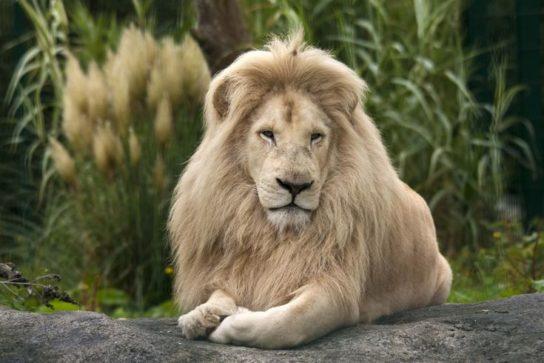 Юго-восточный африканский лев