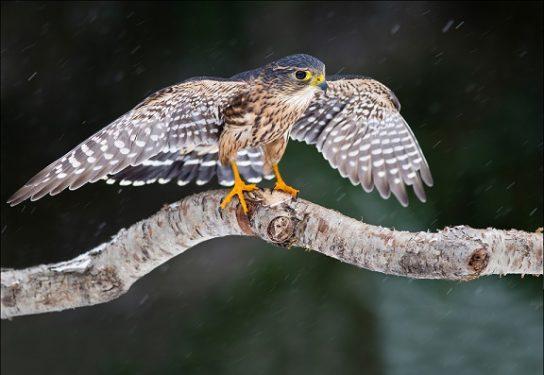 Дербник - красивая птица