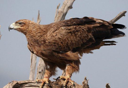 Каменный орел Aquila rapax)