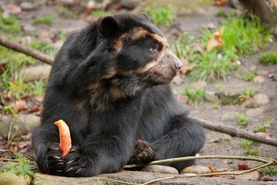 что едят андские медведи