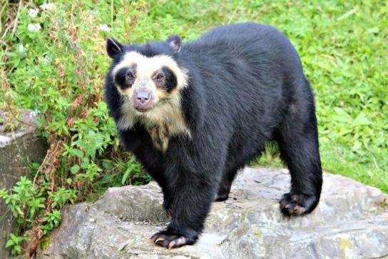 фото очкового медведя
