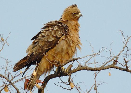 Серебристый орел Aquila wahlbergi