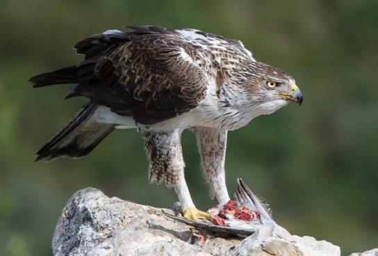 Ястребиный орел Aquila fasciata
