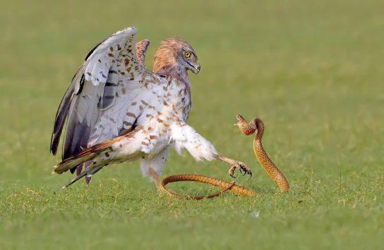 змееяд на охоте