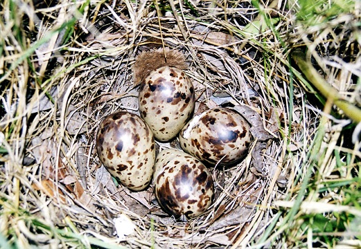 гнездо бекаса с яйцами