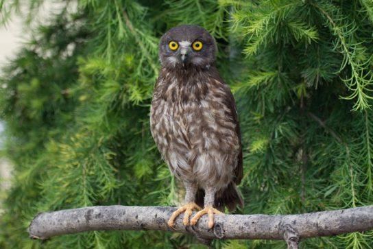 фото иглоногой совы