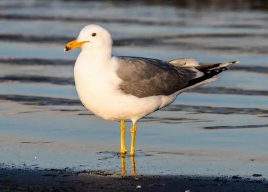 Калифорнийская чайка