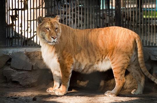 лигр в зоопарке