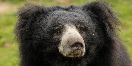 фото медведя губача