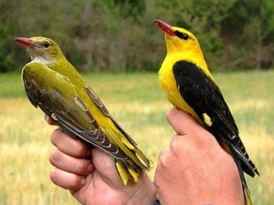 Самка и самец иволги