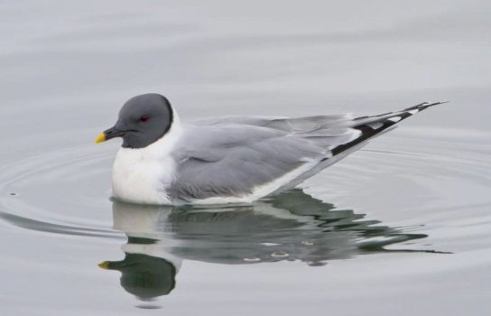 Вилохвостая чайка