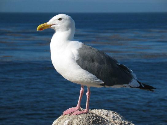 Западная чайка