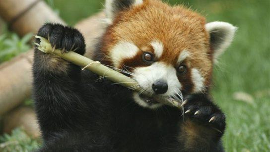 Чем питается малая панда