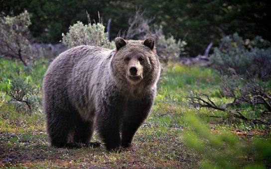где обитает бурый медведь