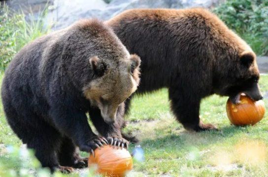 рацион бурого медведя
