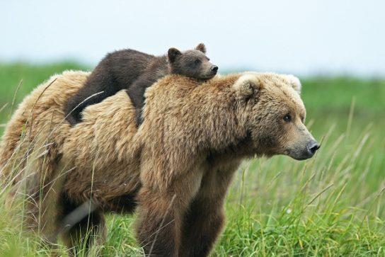 размножение бурых медведей