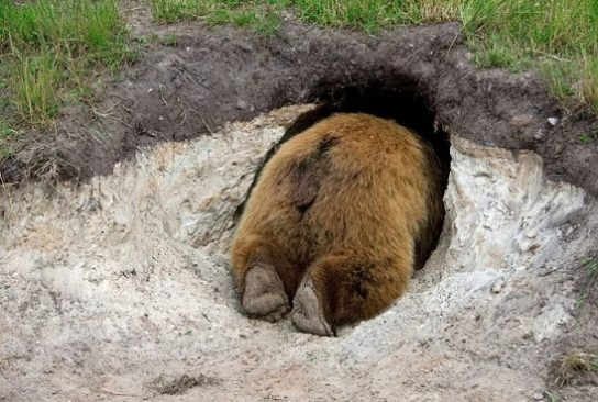 бурый медведь уходит в спячку