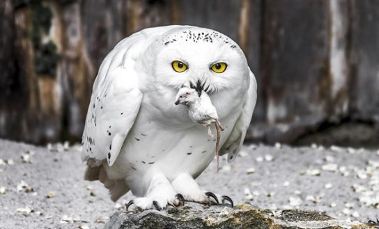 чем питается полярная сова