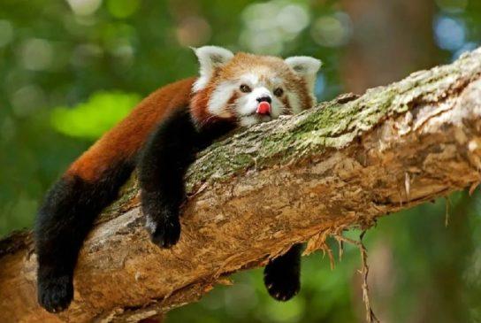 поведение красной панды