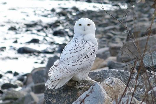 фото белой совы