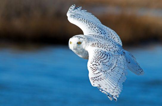образ жизни полярной совы