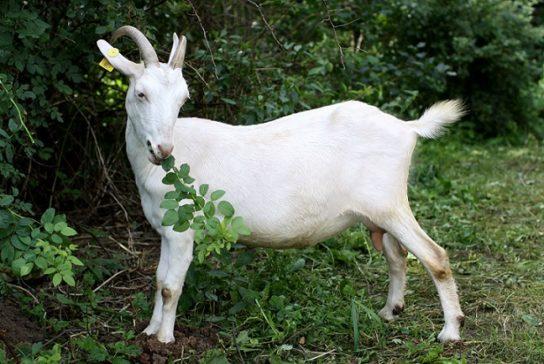 питание зааненских коз