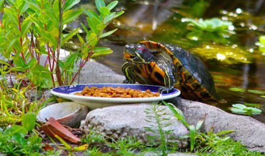 что ест красноухая черепаха