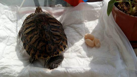 размножение красноухой черепахи