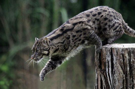 Какие хищники относятся к кошкам