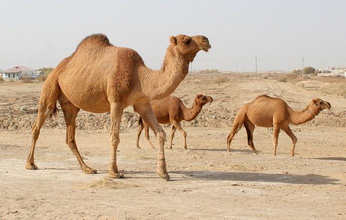 Верблюды в пустыне и полупустыне