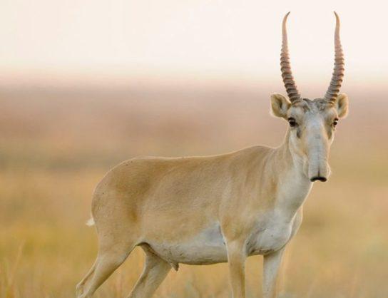 antilopa-saygak