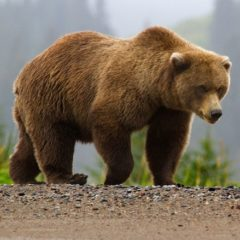 buriy-medved