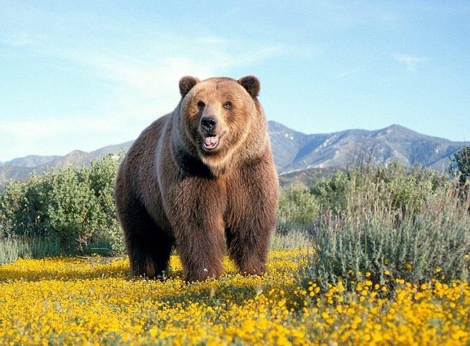 Бурыми медведь