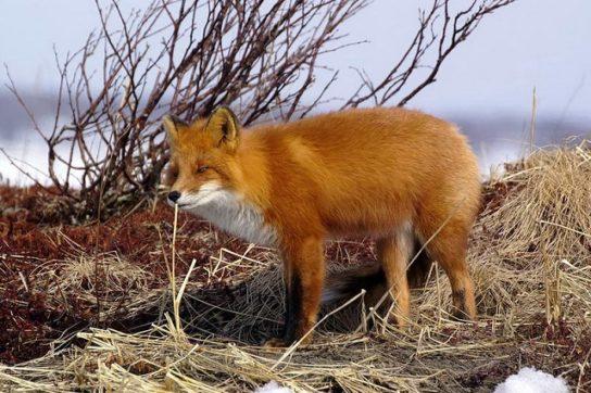 kamchatka-lisica
