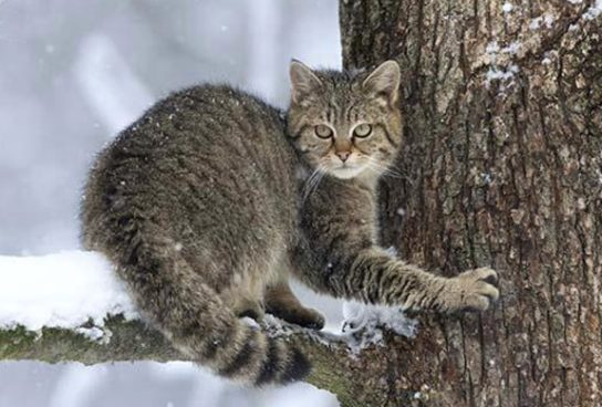 lesnoy-kot