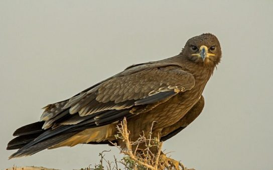 фото степного орла